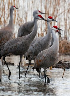 Sand-hill cranes. Common to see anywhere in central Florida.