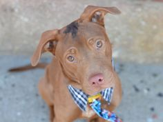 SAFE 4-24-2015 by Twenty Paws Rescue --- Brooklyn Center COFFEE – A1033344  MALE, BROWN / BLACK, AM PIT BULL TER, 3 yrs STRAY – STRAY WAIT, NO HOLD Reason STRAY Intake condition EXAM REQ Intake Date 04/16/2015