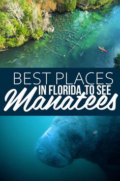Known as Florida's gentle giants, spotting a manatee in their natural habitat is truly a once-in-a-lifetime experience.