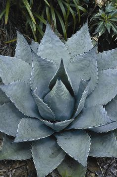 agave havardiana (hardy century plant) for zone 5  overwinter inside the first two years to bulk up, Plant Delights Nursery, Inc.