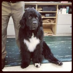 This is Seamus the Newfoundland therapy dog and canine customer at The Cheshire Horse in Swanzey, NH.