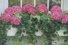 pink geraniums  Ivy:  this is the combination I plant every summer, but mine don't look this gorgeous.