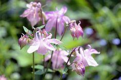 Flerårige planter | Stauder, der kan dyrkes i en have med skygge |...