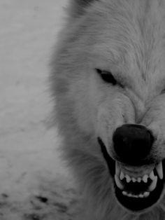 Wolfwolfwolf Howleen Wolf, Wolf Hybrid, Yennefer Of Vengerberg, Wolf Spirit Animal, Wolf Wallpaper, Wolf Pictures, Wild Wolf, Beautiful Wolves, Lone Wolf