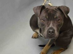 LADY - A1101726 - - Brooklyn  TO BE DESTROYED 01/28/17 ***PUPPY!!! NEW HOPE ONLY*** -  Click for info & Current Status: http://nycdogs.urgentpodr.org/lady-a1101726/