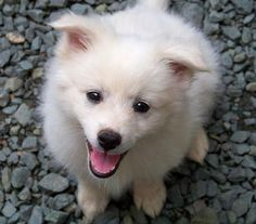 American Eskimo - if I were to ever get a small dog, this breed is awfully cute!