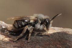 Fotograaf J.werther  Nederlandse naam: Grijze zandbij Wetensch. naam: Andrena vaga