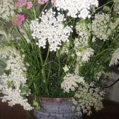 The Story of Queen Anne's Lace