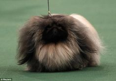 Reminds me of my Lucky!!! I will get another Pekingese