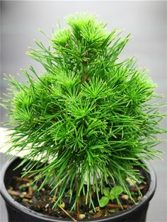 Pinus sylvestris 'Green Penguin' Dense, thick needles on this upright, bushy pine give the plant the appearance of a penguin. A very distinctive pine with a clever name