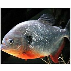 1000+ images about piranhas on Pinterest | Fish, Fishing ...