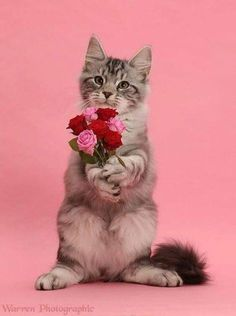 Silver tabby kitten, with a bunch of flowers on pink background Cute Cats And Kittens, I Love Cats, Kittens Cutest, Crazy Cats, Pet Cats, Super Cute Animals, Cute Funny Animals, Cute Baby Animals, Beautiful Cats