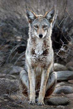 DISPLAY-1226-main-coyotes 2 (1140×1709)
