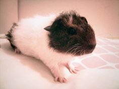 Ridiculously cute baby guinea pig