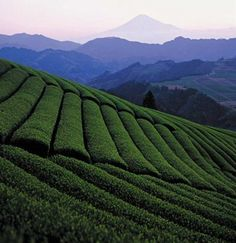 Tea Plantation in Japan ༺ ♠ ŦƶȠ ♠ ༻ Shizuoka accounts for more than 40% of Japan's overall tea productions. The tea plantations date back to 800 years ago, when Shoichi Kokushi, a monk, returned from Sung China to his native province of Shizuoka with green tea seeds, which were then planted in this area. After then, tea growing became economically important there