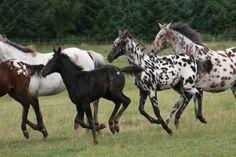 Appaloosa | Appaloosa | The Life of Animals