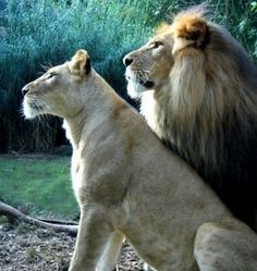 Lion & Lioness - Royalty in the animal kingdom.