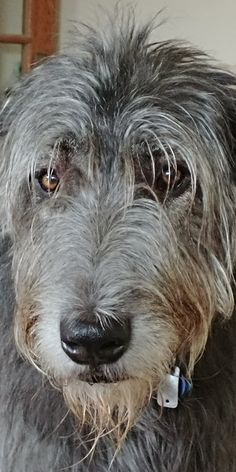 Irish Wolfhound These dogs are so big but they have slow metabolisms and are so gentle. The only problem is they do not live long lives. Irish Wolfhound Puppies, Irish Wolfhounds, Big Dogs, Dogs And Puppies, Doggies, Hounds Of Love, Scottish Deerhound, Akc Breeds, English Sheepdog
