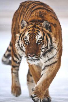 Fierce Animals, Majestic Animals, Beautiful Cats, Animals Beautiful, Panthera Tigris Altaica, Animals And Pets, Cute Animals, Wild Animals, Baby Animals