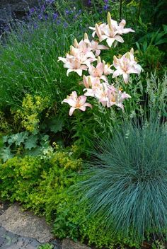 The Driveway Garden: Lavender, pink lilies, lady's mantle ...