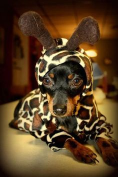 Two of my favorite things.... dachshunds and giraffes
