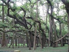 Thimmamma Marrimanu, the world's largest banyan tree, located near Kadiri in Anantapur.