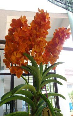 Ascocenda Suksamran Sunlight Orchids