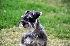 Es uno de los perros más completos que hay. ¡Descubre hoy al Schnauzer!