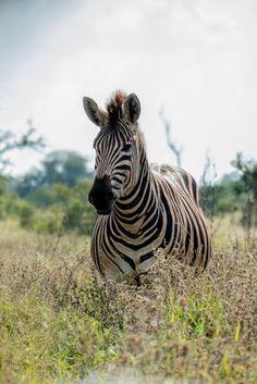 Un #safari en #AfriqueduSud est incontournable en #voyage dans ce pays ! Vous pouvez l'#organiser #seul sans réduire vos chances de #voir des #animaux ! Lions, zèbres, éléphants s'observent sans problème #sans #guide que ce soit au #parc #kruger ou dans tous les parcs nationaux d'#Afrique du sud