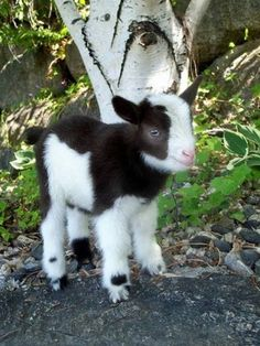a very cute baby goat