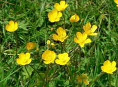 English wild flower pictures whose common names begin with K and L. Pond Plants, Water Plants, Landscaping Plants, Garden Plants, Common Names, Flower Pictures, Ranunculus, Wild Flowers, Greenery