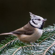 Kuifmees / Crested Tit