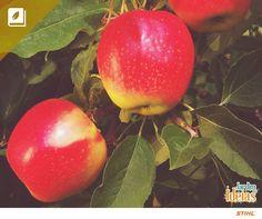 A Enciclopédia Verde desta semana traz uma das frutas mais populares do país: a maçã!  Com poucas calorias, ela tem vários benefícios para saúde humana: ajuda quem tem asma, diminui o mau colesterol e ainda é rica vitamina A.