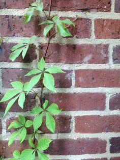 Contrast of hue between leaves and brick wall. Contrast of value between the light mortar and the dark bricks. Scully