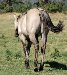 Grulla Horses - Shining C Grulla Horses