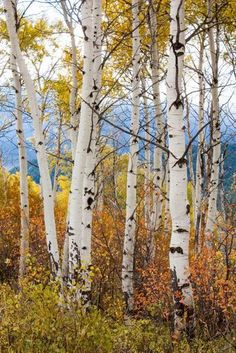 Fall Aspen trees landscape photography by Arodgersphotos Landscape Photos, Landscape Art, Landscape Paintings, Watercolor Trees, Watercolor Landscape, Pictures To Paint, Nature Pictures, Tree Photography, Landscape Photography