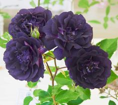 1000 images about inspirational garden ideas on pinterest - What are blue roses called ...