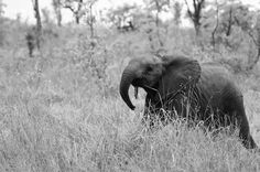 elephant while on safari at Sabi Sabi Private Game Reserve, South Africa - #travel #Africa