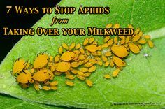 Aphid control is essential if you want to grow healthy milkweed plants for monarch butterflies. Here are 7 ways to control aphids organically, and save more milkweed for monarchs. Butterfly Garden Plants, Garden Insects, Home Design, How To Kill Aphids, Milkweed Plant, Butterfly Life Cycle, Plant Information, Gardening Supplies, Monarch Butterfly