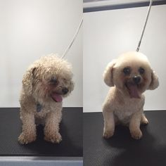 Gizmo #terasgrooming #terastreats #shopsmall #poodlelover #poodle #gizmo