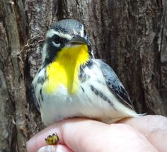 first year female Yellow-throated warbler.