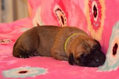 """Mr. Yellow / 5 days old Litter """"B"""" Happy Chilli Dogs Abby Happy Chilli Dogs x Lucas Big Lord www.happychillidogs.cz"""
