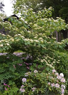 Pagoda dogwood (Cornus alternifolia) Companion plants for lilacs. Pagoda Dogwood, Dogwood Trees, Next Garden, Colorful Garden, Companion Planting, Flower Beds, Landscape, Flowers, Backyard Ideas