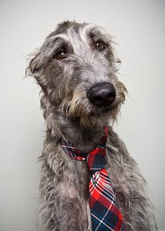 Irish Wolfhound Attorney, advocating for large dogs who need bigger beds and larger treats. Big Dogs, Large Dogs, Cute Dogs, Dogs And Puppies, Corgi Puppies, Love My Dog, Magyar Agar, Scottish Deerhound, Irish Wolfhounds