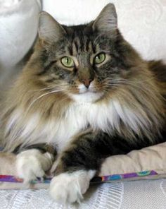 What a beautiful Norwegian Forest cat…