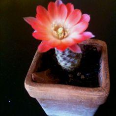 Solitary cactus flower