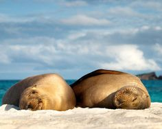 Two sea lions sun bathing in the Galapagos Islands.