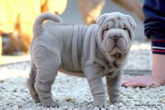 Viva and Rumba shar pei puppies - Qi Ming Xing shar pei kennel - Picasa Web Albums