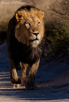 Male Lion Female Lion Tattoo, Lions Photos, Kinds Of Cats, Indian Art Paintings, Proverbs 3, African Animals, Zoo Animals, Big Cats, Badass
