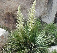 Parry's beargrass (Nolina parryi)